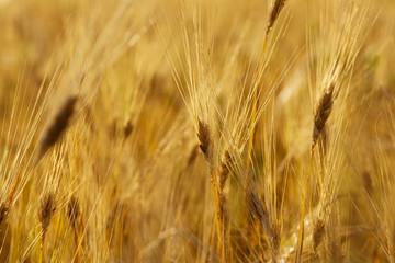 Fotoväggar - Wheat stem