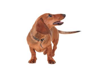 Portrait Of The dachshund Dog Isolated On White