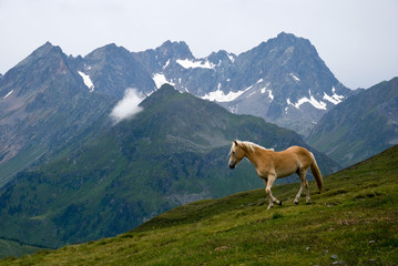 Horse on alpine pasture