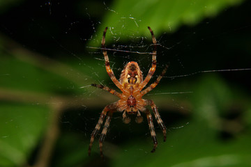 Gartenkreuzspinne / European garden spider (Araneus diadematus)