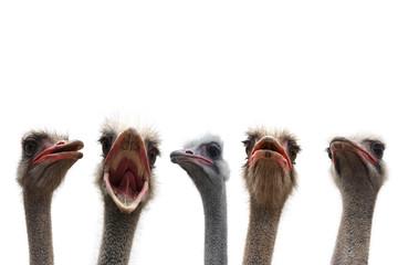 Stores photo Autruche five ostrich heads
