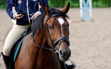 Bay stallion and jockey during training