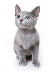 Russian blue kitten on white