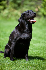 black labrador retriever sitting on grass