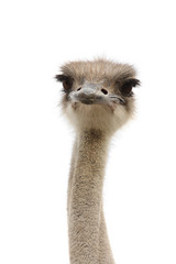 Photo sur Aluminium Autruche young female ostrich isolated