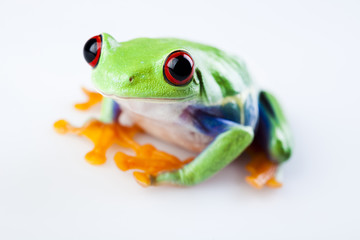 Small animal red eyed frog