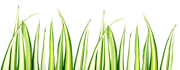 Photos illustrations et vid os de phalang re for Plantes de bordures