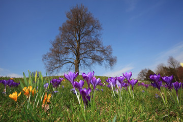 Bunte Krokuswiese mit Baum und Himmel im Frühling