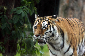 detail bengal tiger in zoo