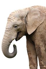 isolated portrait elephant at food on white background