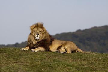 Blonde lion laying down