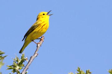 Fotoväggar - Yellow Warbler (Dendroica petechia) Singing