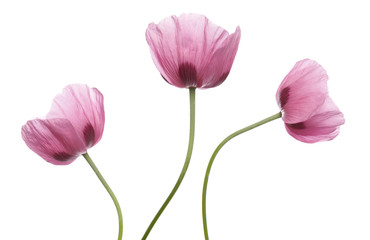 Pink Purple Poppies