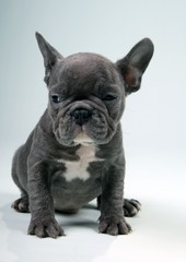 French Bulldog Puppy blue