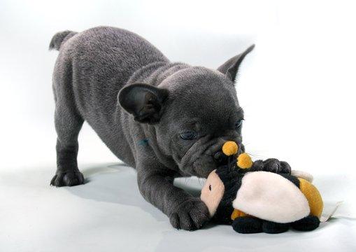 French Bulldog Puppy & Biene