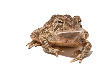 Toad About To Jump