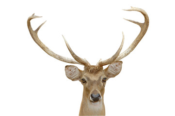 eld deer head