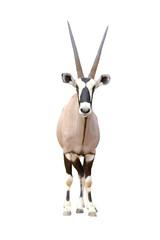 Fototapete - oryx