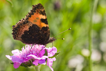 Small tortoiseshell drinking nectar on summerday