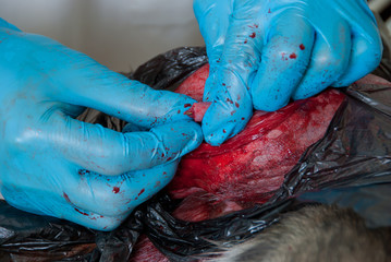Surgical incision on the body of a dog