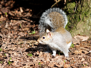 A Grey Squirrel in a Sunny Woodland Setting.