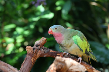 Lovebird with pink and green feathers