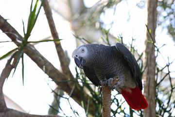 African gray parrot tropical bird
