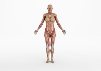 Muskeln 02