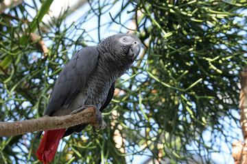 African gray parrot tropical bird looking below