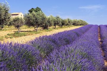 Fototapeten Lavendel entre oliviers et lavande