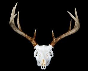 European Deer Mount Head On