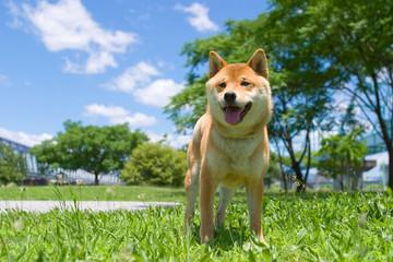 柴犬 japanese dog