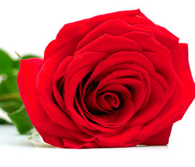 Red rose with green leaves