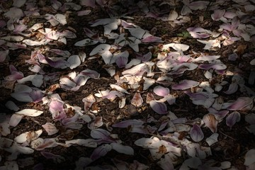 Dead magnolia flowers on the ground