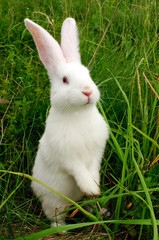 Cute White Rabbit Standing on Hind Legs