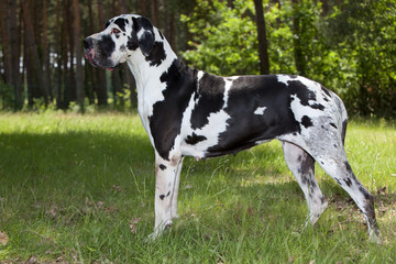 great dane on the grass