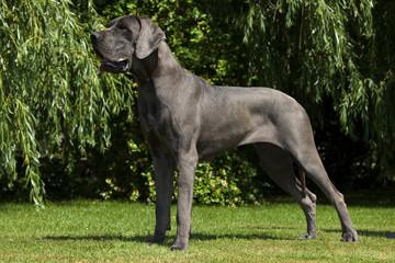 dogue allemand en position standard - apollon des chiens