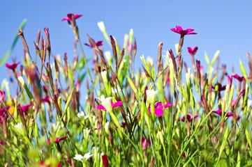 Dianthus pink against a blue sky