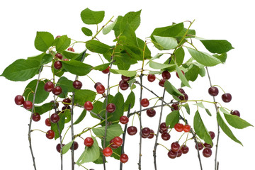 Branches of a ripe isolated cherry