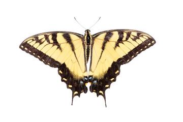 Fotoväggar - Isolated Tiger Swallowtail Butterfly