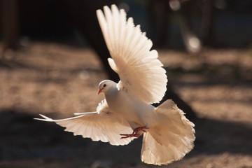 weiße Taube Fototapete