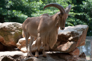 Large Goat