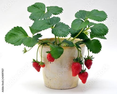 Pianta di fragole immagini e fotografie royalty free su for Pianta di fragole