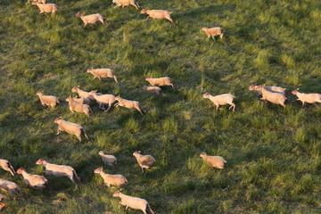 mouton qui court dans un champ
