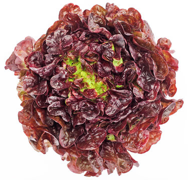 Red cabbage lettuce head isolated on white