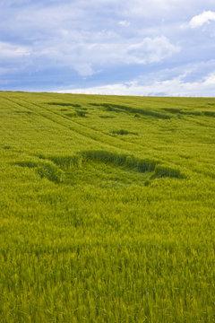 Hole in wheat field