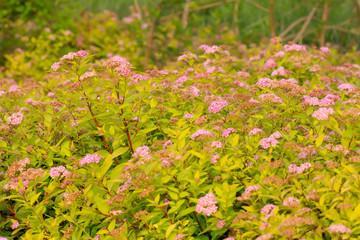 rosaceae spiraea flowers