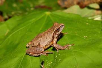 Spring Peeper (Pseudacris crucifer) in Alabama