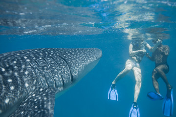 Whale shark - Walhai
