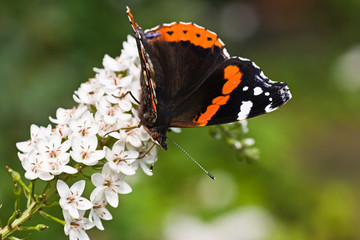 Butterfly Red Admiral on gooseneck loosestrife